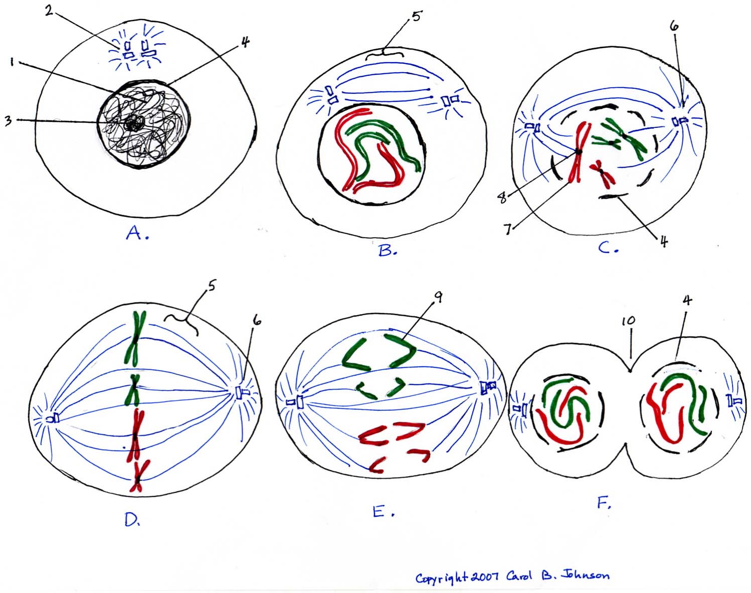 Unlabeled Cell Cycle Phases Diagram Online Schematic Diagram