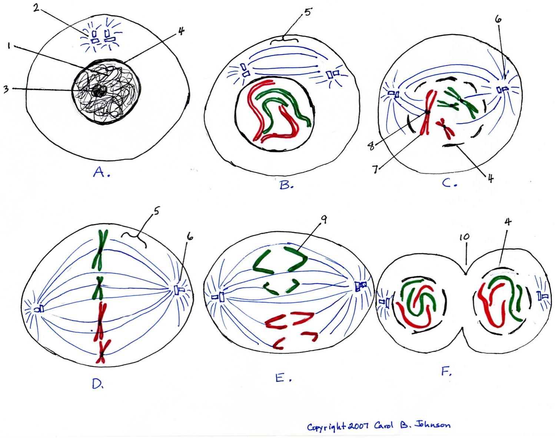 Mitosis Diagram ThingLink - Blank Mitosis Diagram