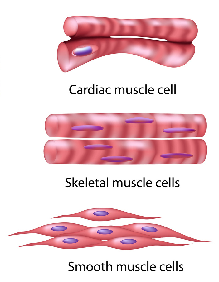 Cardiac Muscle Heart Muscle Is Involuntary Striated