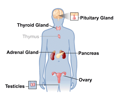 Endocrine system thinglink ccuart Choice Image