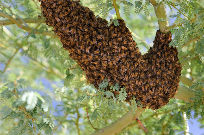 killer bees The killer bees made their hive in a house about three years ago but have recently become more aggressive.