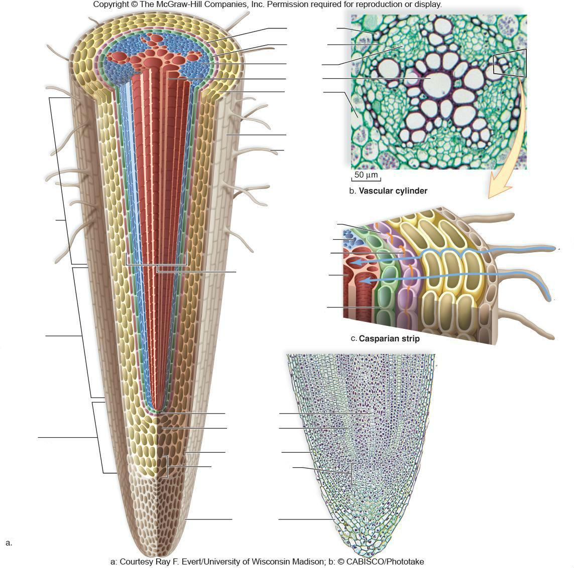 Root Anatomy - ThingLink