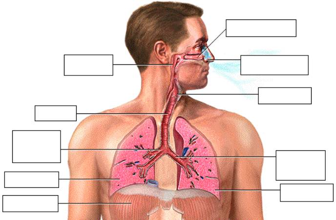 lab simulation exercise 7 respiratory system Start studying physioex exercise 7 respiratory system mechanics learn vocabulary, terms, and more with flashcards, games, and other study tools.