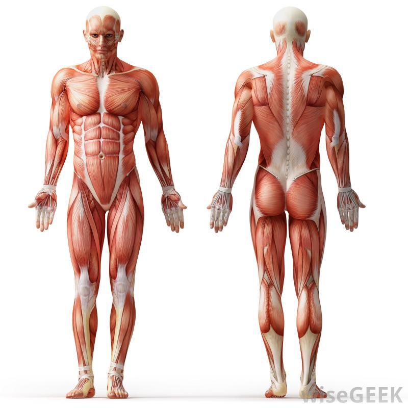 Human Muscular System Interactive Diagram