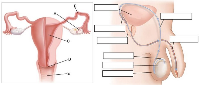 Uterus And Fallopian Tube Diagram Unlabeled All Kind Of Wiring