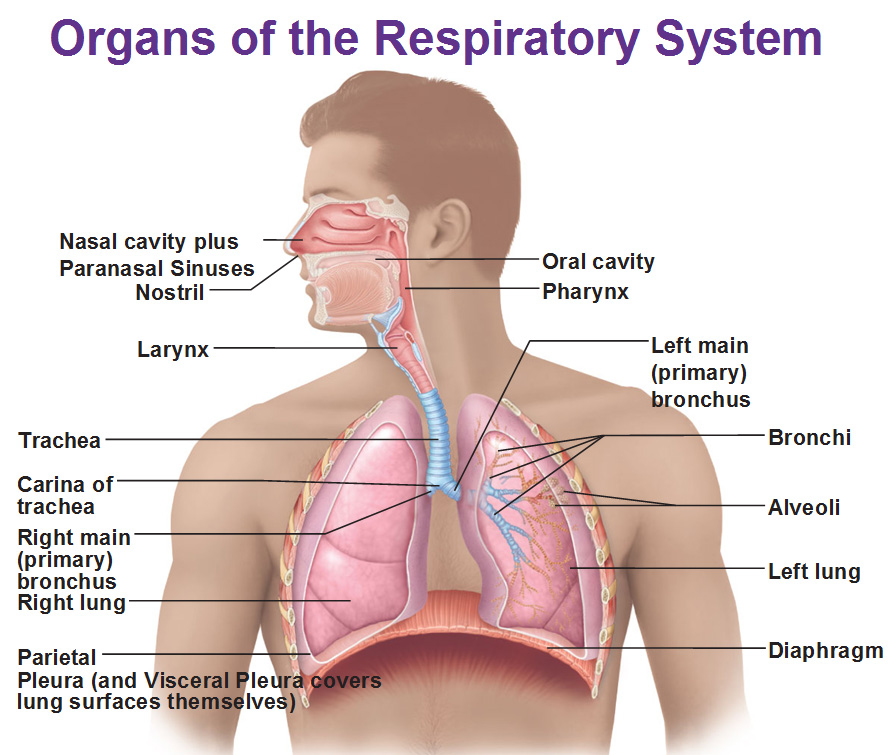 The Human Respiratory System Is A Series Of Organs Respon