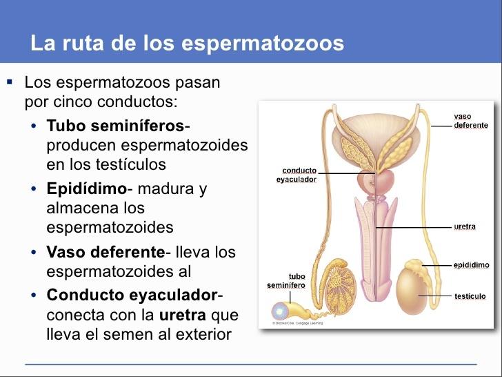 Donde se almacenan los espermatozoides
