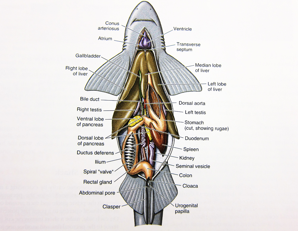 Internal Anatomy of A Dogfish Shark - ThingLink