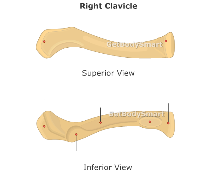 Clavicle Unlabeled 18983 Enews