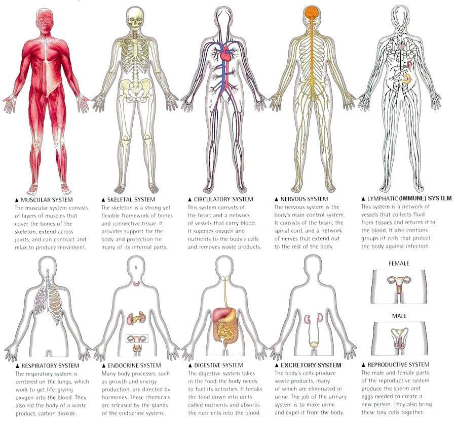 Human Body, Organs of the Human Body - ThingLink