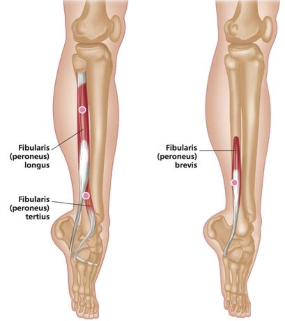 Peroneus Muscles