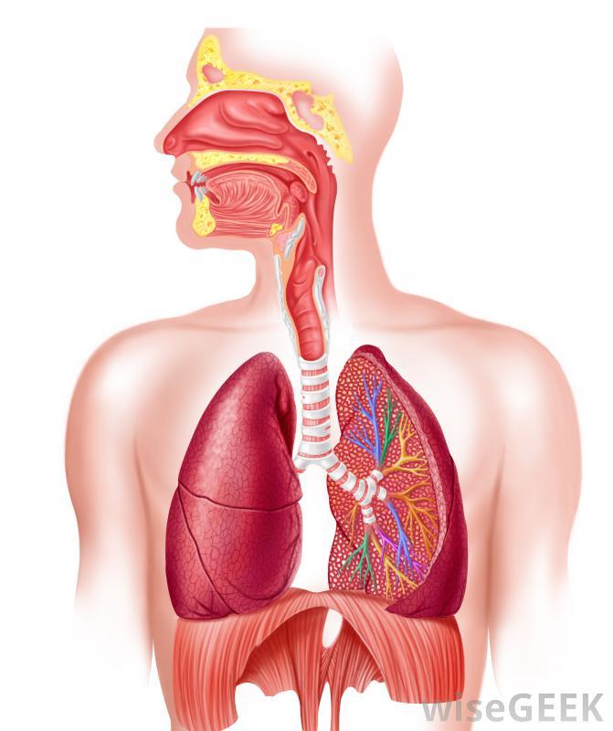 Lungs Diaphragm Trachea Bronchiole Pharynx Larynx B Thinglink