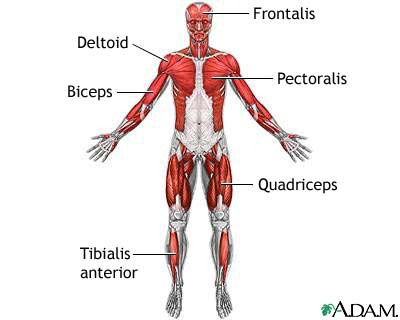 Simple Diagram Of Muscular System
