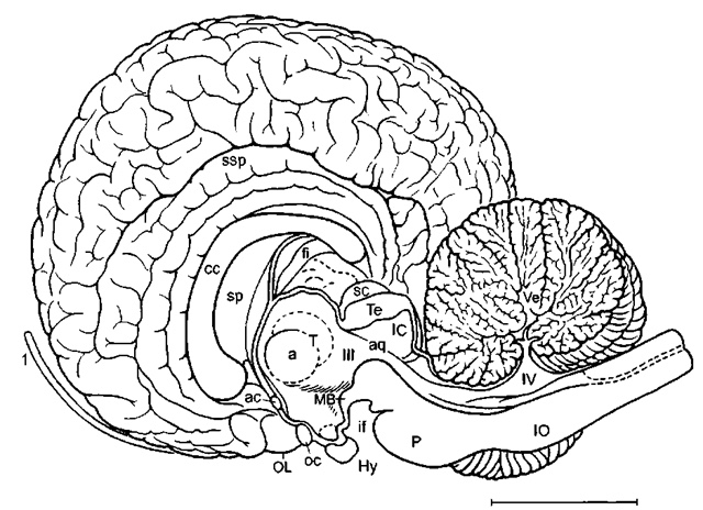 Brain Diagram Of Whale Block And Schematic Diagrams