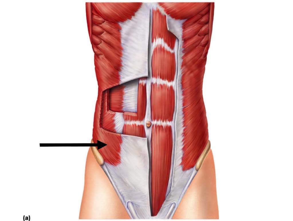 Aponeurosis External Oblique Rectus Abdominus Internal Thinglink