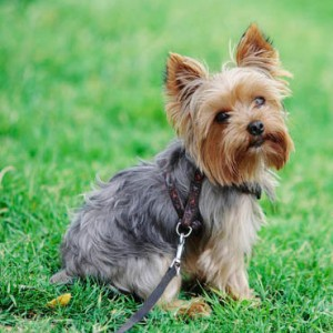 Yorkshire Terrier Dog Breed Information Pictures Charac