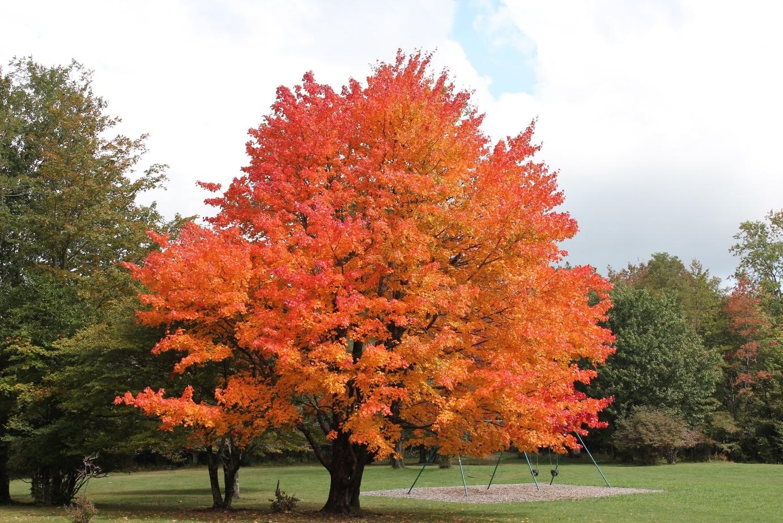 1 Maple