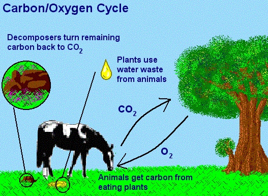 Carbon Dioxide Oxygen Cycle Ricardo Morales Oved Castro - ThingLink